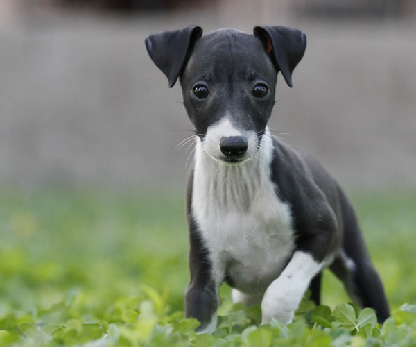 about time italian greyhounds italian greyhound puppies