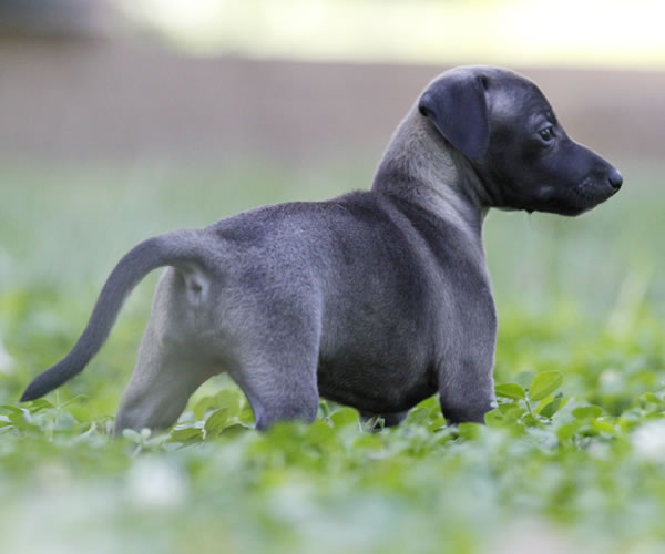 About Time Italian Greyhounds - Italian Greyhound Puppies ...