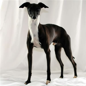 Ch  Lebeck Nomad at Marchwind  Sable Italian Greyhound