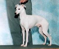 About Time Italian Greyhounds Silver Lining White