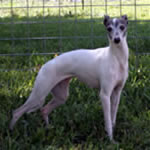 """Hairicane Boot Scooten Boogie"" Blue Pied Italian Greyhound Female"