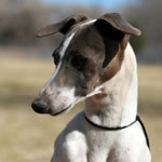 Marchwind's Blue DOg Democrat - Blue Irish Italian Greyhound