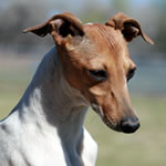 """About Time's Serendipity"" Seal / White Pied Italian Greyhound Female"