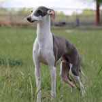 Phantom of Special Acres - Blue Irish Split-Face Italian Greyhound