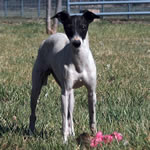 """Marchwind's Jokers Wild"" Blue Wild Irish Split-Face Italian Greyhound Female"