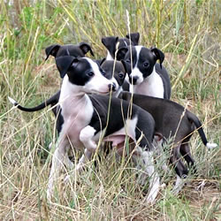 Italian Greyhound Litter