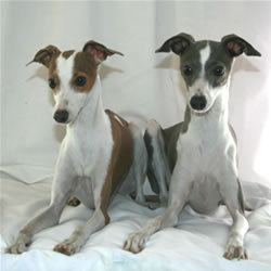 Italian Greyhound Pair
