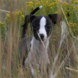 Italian Greyhound pup in grass
