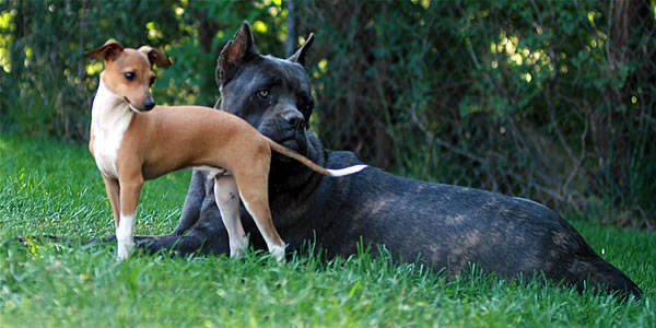Italian Greyhound and Cane Corso