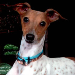 Italian Greyhound Pied male