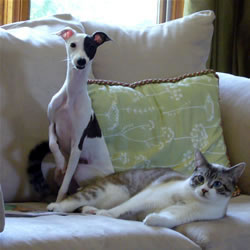 Italian Greyhound with cat