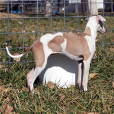about time italian greyhounds ig colors and markings