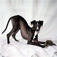 Seal  Sable Italian Greyhound