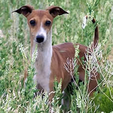 Red  Sable Italian Greyhound