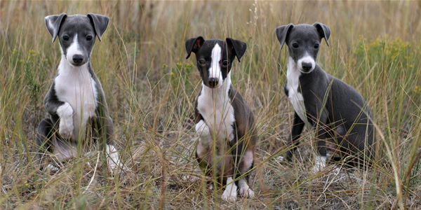 Italian Greyhound Dogs Breeds