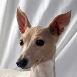About Time Italian Greyhounds Adopted Rescues